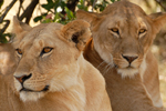 Female Lions