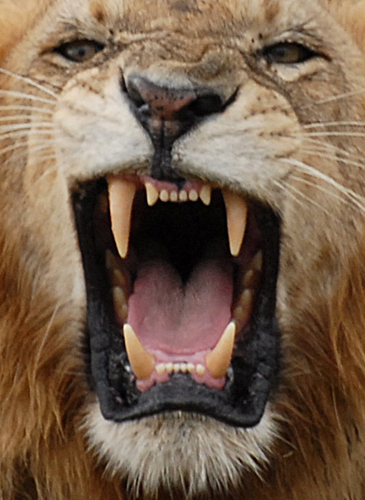 Lion Teeth Diagram | www.pixshark.com - Images Galleries ...