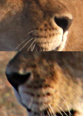 View Lion Whiskers Close Up