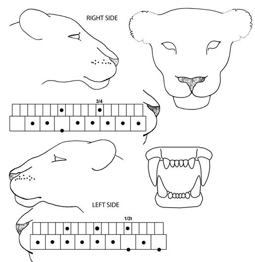 Lions teeth diagram electrical work wiring diagram mara predator project rh livingwithlions org identify teeth diagram diagram of teeth baby tiger ccuart Images