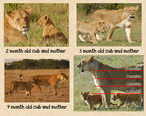 How To Age Lions | Mara Predator Project
