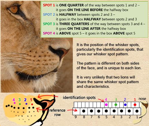 How To Identify Lions | Mara Predator Project